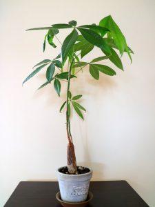オフィス,観葉植物,空間デザイン,リラックス,パキラ